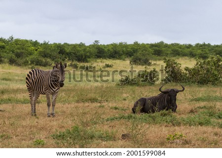 Zebra and blue wildebeest or gnu (Onnochaetes taurinus) friends relaxing together in the bushveld grasslands in Kruger National Park, South Africa with blue sky Stock photo ©