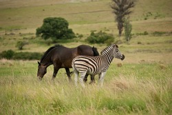 Zebra and Horse in green fields