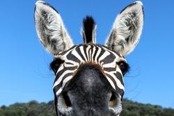 Zebra, animal, portrait, wildlife