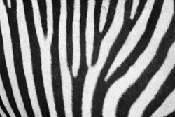 zebra animal skin texture as nice background