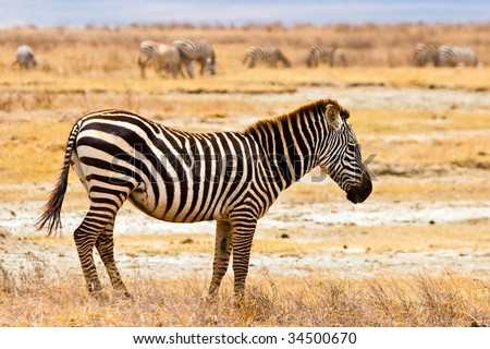 Zebra animal walking in the serengeti in the sun