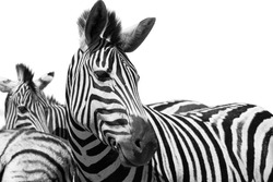 Zebra Black and white portrait high contrast