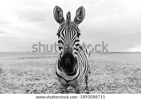 Zebra black and white portrait. Unique wild animal looking to the camera. curious animal communicating. big nose Funny looking cute zebra shallow depth of field eyes in focus.  Dramatic creative photo Photo stock ©