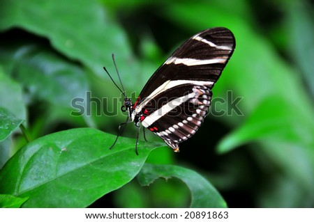 zebra butterfly (heliconius charitonius) resting on a leaf with its proboscis curled