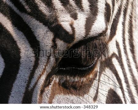 Zebra - close-up on eye