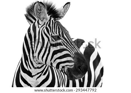 stock photo zebra close up portrait zebra animal isolated on a white background 293447792 - Каталог — Фотообои «Животные»