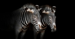 Zebra couple with black background
