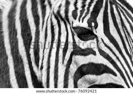 zebra detail eye