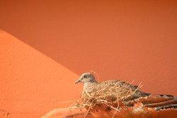 Zebra dove made a nest on the pipe beside the orange cement wall.