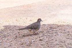 Zebra Dove or Barrec ground Dove or Javanese striated Ground Dove