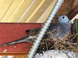 Zebra Dove or Geopelia striata in  my garage. The zebra dove also known as barred ground dove, is a bird of the dove family, Columbidae, native to Southeast Asia.
