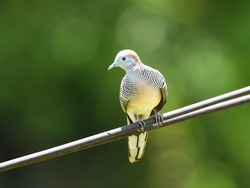 Zebra dove or peaceful dove (Geopelia striata), a common bird in Thailand, is bathing morning light on electrical wires nearby my house in the rural area. Nature green with bokeh background.
