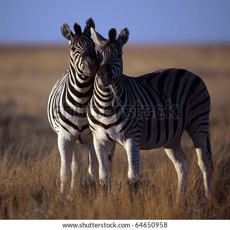 Zebra duo in sunset light, Etosha, Namibia, Africa