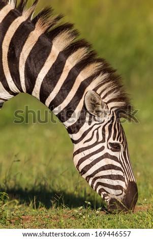 Zebra Eating Grass Wildlife animal zebra eating grass in reserve terrain