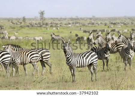 Zebra (Equus burchelli) in the great migration
