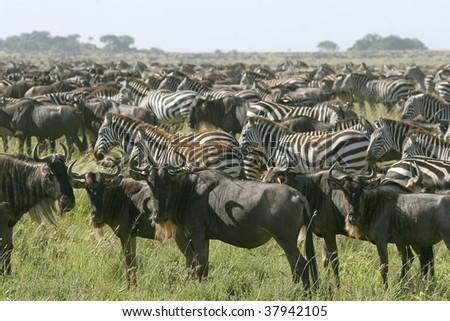 Zebra (Equus burchelli) in the great migration
