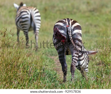 zebras running from predator - photo #9