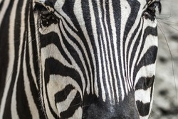 Zebra eyes close up. Muzzle of a striped animal. Black and white stripes on the wool. African fauna in a European zoo. Wildlife protection. Horse mane. Pattern on zebra wool.