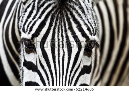 Zebra Faces http://www.shutterstock.com/pic-62214685/stock-photo-zebra-face-to-face.html