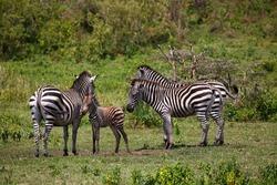 Zebra family (Equus quagga) including mother with young animal, Arusha National Park, Tanzania