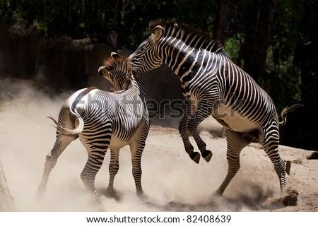 Zebra fighting, a fight between two male zebras.