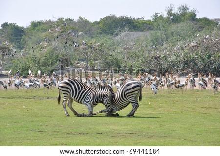 Zebra fighting, in open zoo
