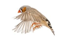 Zebra Finch flying, Taeniopygia guttata, against white background