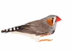 Zebra Finch, isolated on white background  with clipping path, Taeniopygia guttata