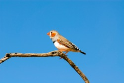 Zebra finch male perched on dead tree branch, side on view of this native bird of Australia.Outback Australia.