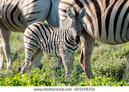 zebra grazing in etosha national park namibia country africa