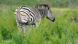 Zebra grazing in Rietvlei Nature Reserve, Pretoria, South Africa