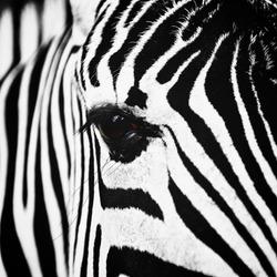 zebra grazing on  banks of  pond