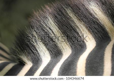 Zebra hair and back closeup shot showing brush like hair and thick skin - stock photo