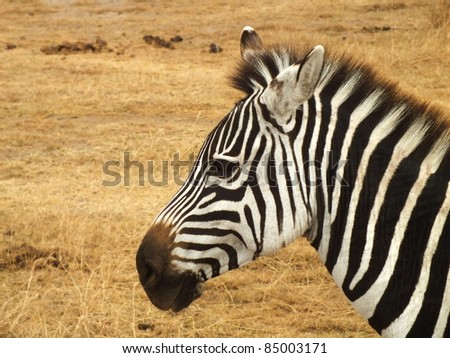 Zebra Head Close-Up On The Side Stock Photo 85003171 ...