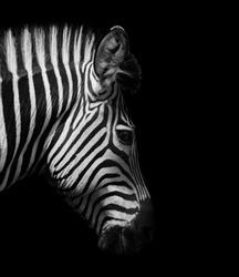 Zebra head from the side in black and white