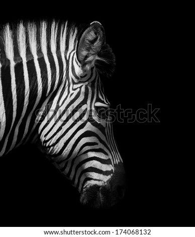 stock photo zebra head from the side in black and white 174068132 - Каталог — Фотообои «Животные»
