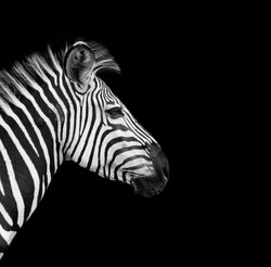 Zebra head on a black background
