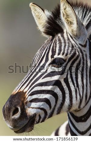 Zebra Head Portrait Zebra wildlife animal head portrait of its detail in wildlife animal reserve.