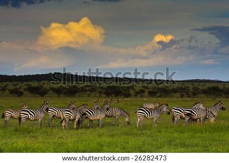 Zebra Herd at Sunset in Singita Grumeti Reserves - stock photo