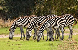 Zebra herd grazing in nature scene. Zebras group. Zebras. Zebra herd grazing