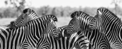 Zebra herd in a black and white photo with heads together