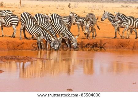 Zebra Herde trinkt am Wasserloch - stock photo