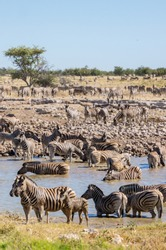 Zebra, in a large herd, close up at the waterhole in Namibia, Africa.
