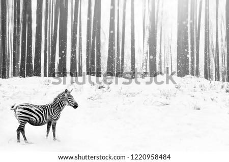 Stock Photo Zebra in a snowy forest. Fantastic fabulous image. Winter dreamland.  Сonceptual striped monochrome image.