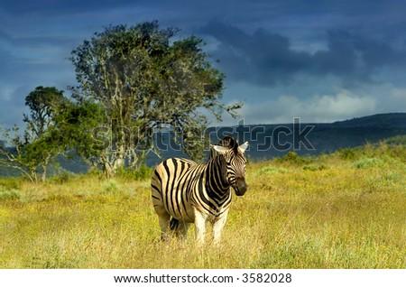 Zebra in a storm - stock photo