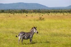zebra in african savannah. wild animal during safari in national park in africa. nature wildlife reserve.