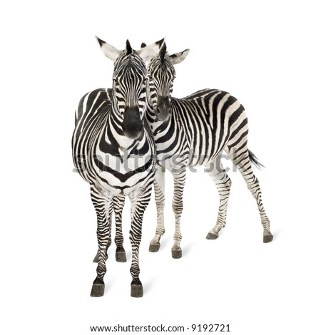 Zebra in front of a white background