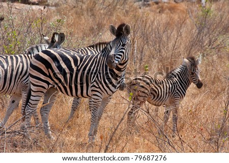 zebra in Kruger National Park, South Africa