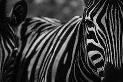 Zebra in Lubango Province, Angola.  the contrast of the stripes is fantastic