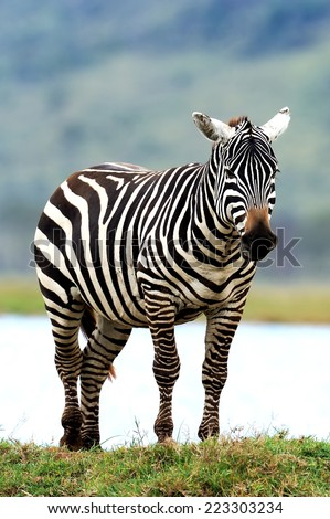 Zebra in National Park. Africa, Kenya #223303234